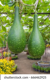 Hanging winter melon in the garden or Wax gourd, Chalkumra in farm.