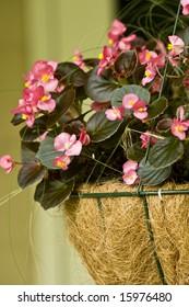 A hanging wire basket full of Pink Begonias