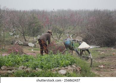 Hanoi, Vietnam- Jan 17, 2014: A farmer in a field of cherry blossom in Hanoi, Vietnam - Shutterstock ID 256862437