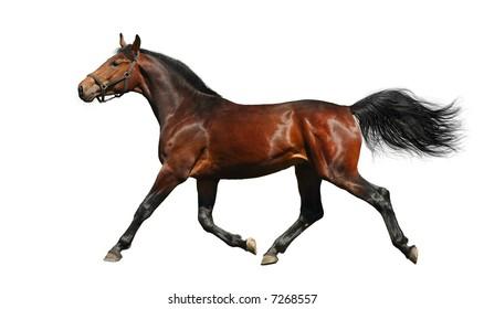 hanoverian chestnut stallion