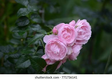 Hans Gonewein Rose