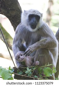 Hanuman langoer(Semnopithecus entellus) monkey  with a young baby in her arms
