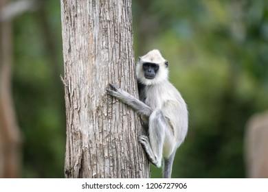 Hanuman Langur Climbing a Tree- Selective Focus