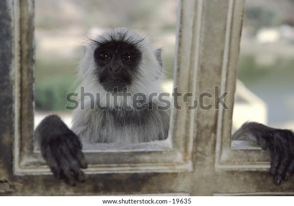 Hanuman langur looking through window