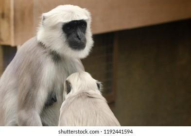 Hanuman Langur monkey nurses a baby