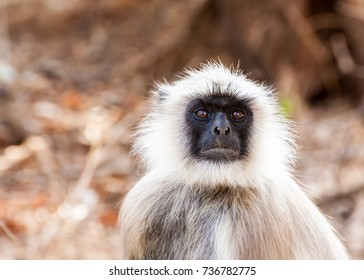Hanuman Langur Monkey in Sariska National Park, India