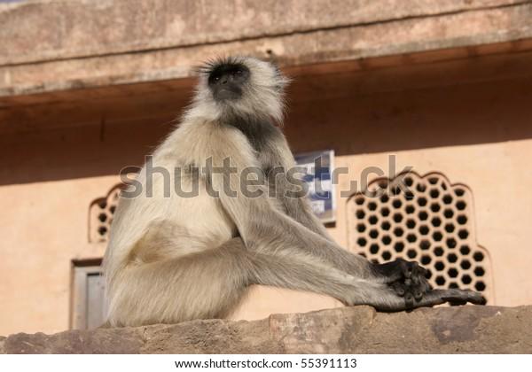 Hanuman Langur (Semnopithecus) also as Hulman, gray or Indian langurs known.