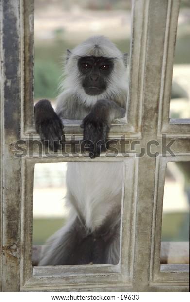 Hanuman langur at the window