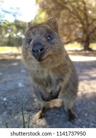 Happiest animal on earth-Quokka-Setonix brachyurus on Rottnest Island, Western Australia