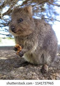 Happiest animal on earth-Quokka-Setonix brachyurus on Rottnest Island, Western Australia