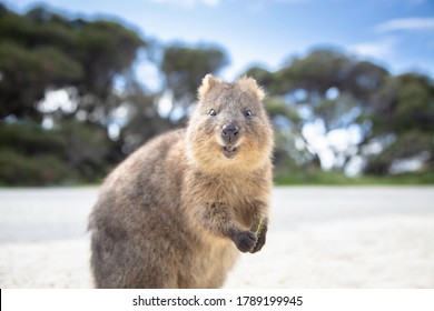 The happiest animal quokka is smiling and greeting at Rottnest Island in Perth, Western Australia