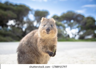 The happiest animal Quokka is smiling and welcoming you to come to Rottnest Island in Perth Western Australia