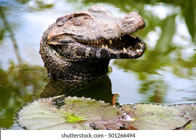 The happiest caiman in South America.