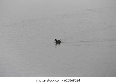 happily swimming black duck