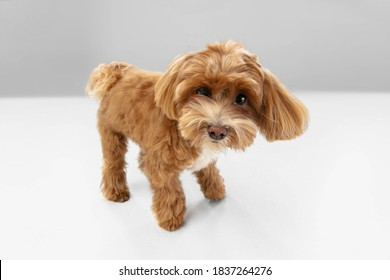 Happiness. Maltipu little dog is posing. Cute playful braun doggy or pet playing on white studio background. Concept of motion, action, movement, pets love. Looks happy, delighted, funny. - Shutterstock ID 1837264276
