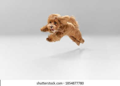 Happiness. Maltipu little dog is posing. Cute playful braun doggy or pet playing on white studio background. Concept of motion, action, movement, pets love. Looks happy, delighted, funny. - Shutterstock ID 1854877780