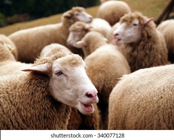 Happiness on green grassland sheep enjoy the food group