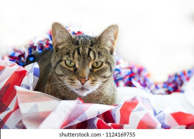 Happy 4th of July conceptual image with an American Tabby cat.