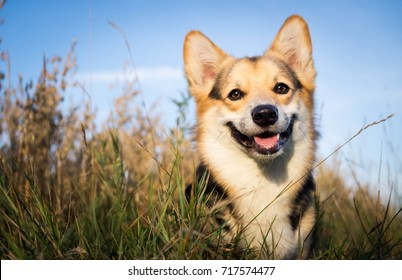 Happy and active dog is a purebred Welsh Corgi outdoors in the field on a Sunny day.