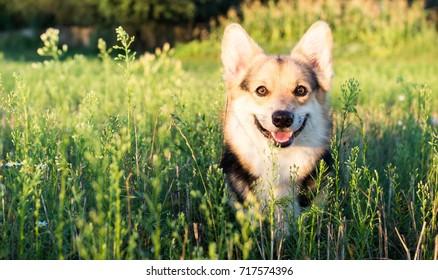 Happy and active pureblood dog of Welsh corgi outdoors in sunflowers on a sunny day.