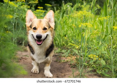 Happy and active purebred Welsh Corgi dog outdoors in the flower on a sunny summer day.