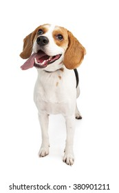 Happy and active young Beagle breed dog looking up with mouth open and tongue out. Isolated on white.