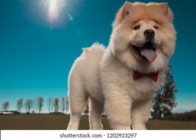 happy adorable chow chow elegant puppy dog wearing red bowtie is standing against blue sky
