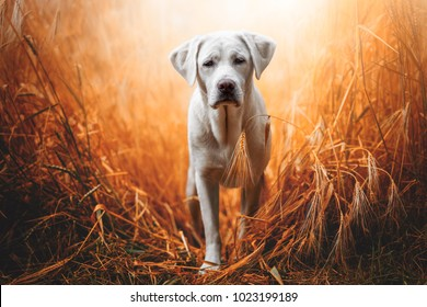 happy adorable cute little labrador retriever dog puppy standing in the red golden sunshine on field during sunset