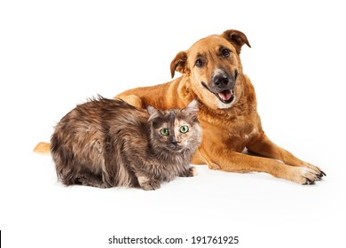 A happy adult large mixed breed golen color dog laying down with a smile on his face next to a pretty Persian cat