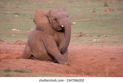 Happy African Elephant in South Africa