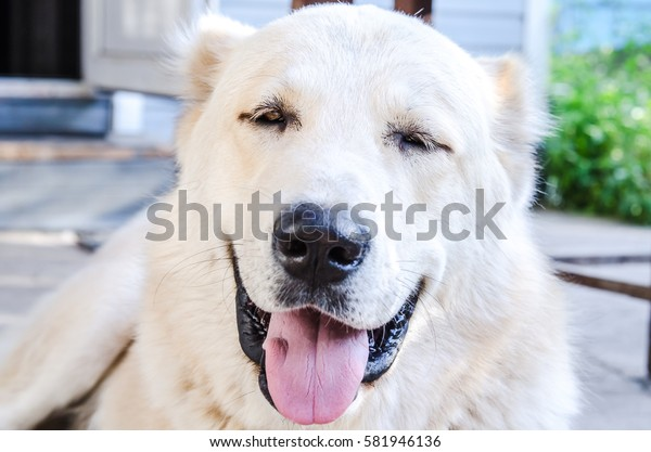happy Alabai  dog with Tongue Out is smiling