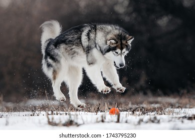 happy alaskan malamute dog playing outdoors with a ball toy