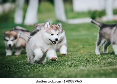 happy alaskan malamute puppies