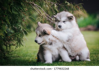 happy alaskan malamute puppies posing outside. Super cute puppies posing.