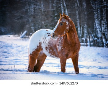 Happy American Appaloosa horse with colorful spotted coat pattern