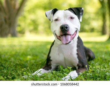 A happy American Bulldog mixed breed dog relaxing in the grass