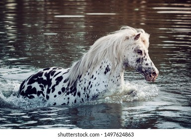 Happy Appaloosa pony with colorful spotted coat pattern