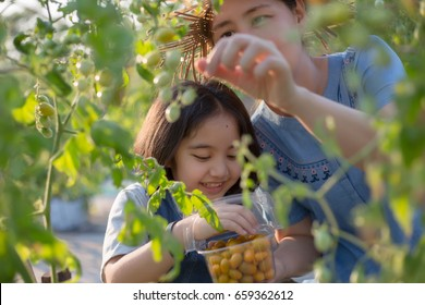 Happy Asian child harvesting little tomato with her mother in the organics farm