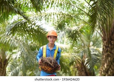 Happy Asian farmer palm oil holding a palm oil fruit