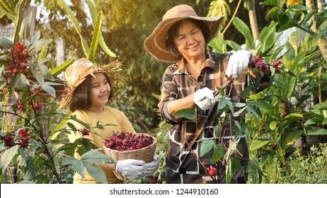 Happy Asian senior farmer and little girl harvesting organic fresh red roselle in the farm