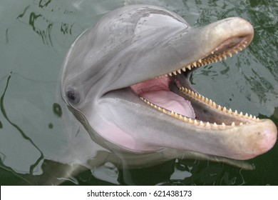 Happy Atlantic bottle-nosed dolphin smiles while playing in the water.