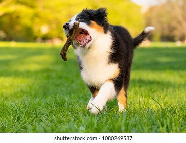 Happy Aussie dog with stick runs on meadow with green grass in summer or spring. Beautiful Australian shepherd puppy 3 months old running towards camera. Cute dog enjoy playing at park outdoors.