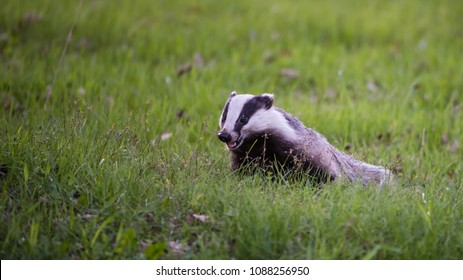 A happy Badger (Meles meles) in the green grass searching  for food