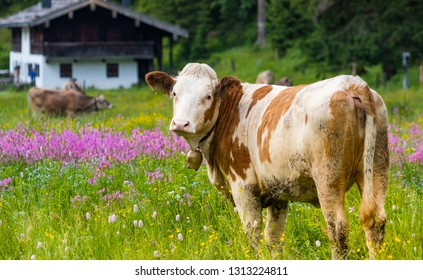 Happy bavarian cow with cowbells in flower field at mountain alp.