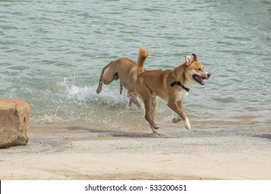 Happy beagle and chow mix joyfully exiting the choppy waters of a dog park's retention pond while the canine companion who is chasing him is closing in, creating quite a splash at the water's edge