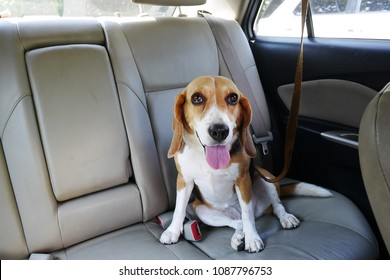 happy beagle dog sits in back seat of a car with leash on