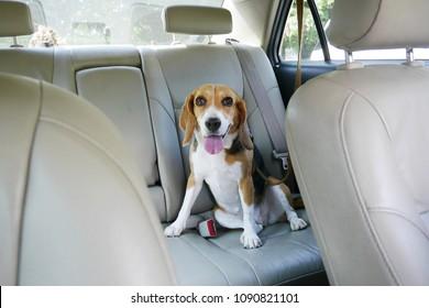 Hagelhund sitzt im Rücksitz in einem Auto