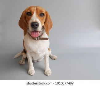 happy beagle dog sitting isolated on grey background