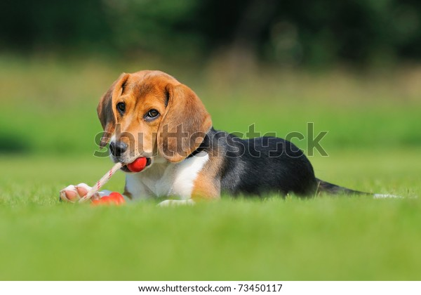 Happy beagle puppy dog plays with a ball