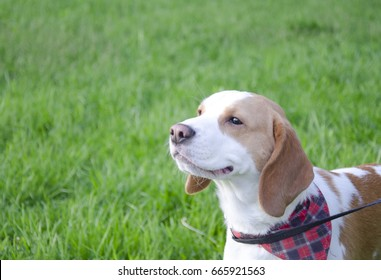 Happy beagle puppy walking outdoors (against the background of bright green grass)